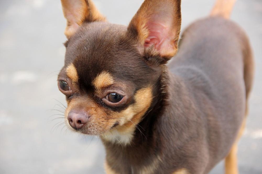 Все о собаке породы «Чихуахуа»