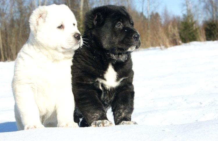 среднеазиатская овчарка цена щенков