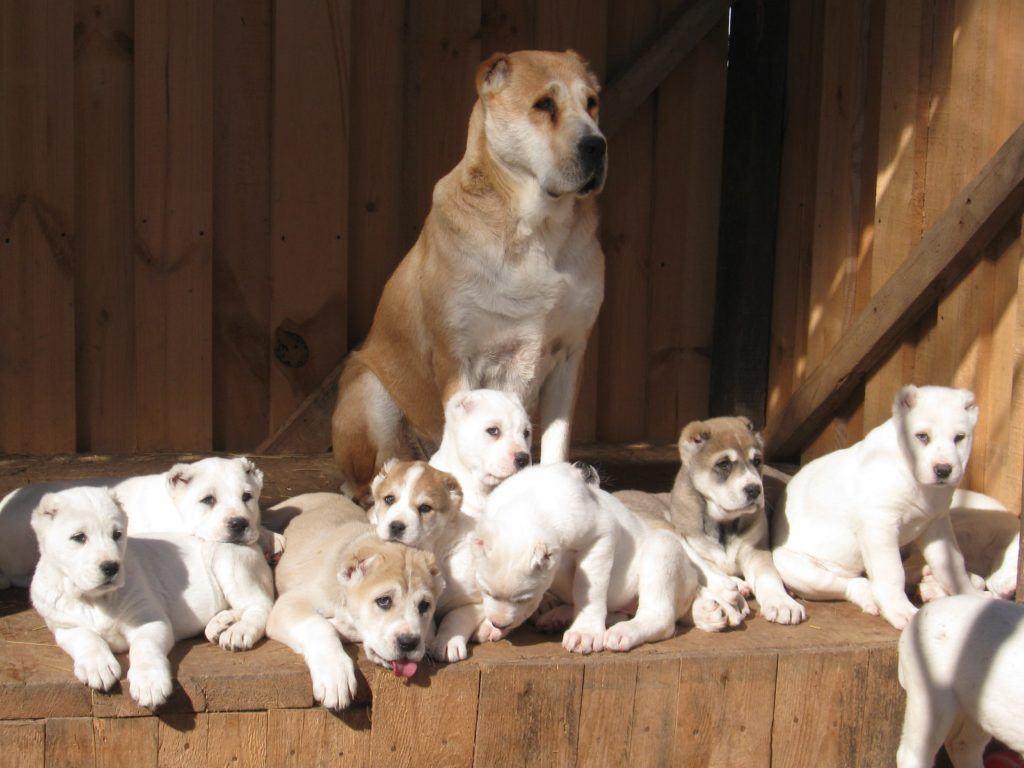 сколько стоит собака алабай щенок