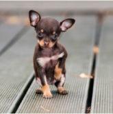 Все о собаке, породы Чихуахуа