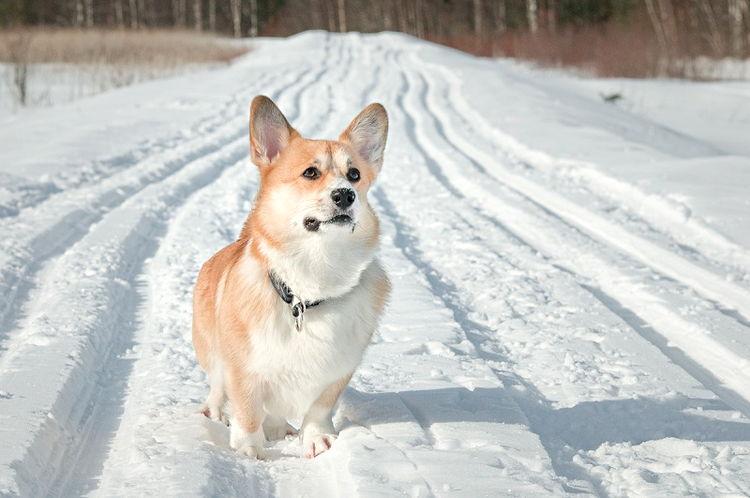 Вельшкорги пемброк в снегу