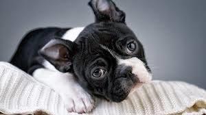 бостон терьер купить щенка