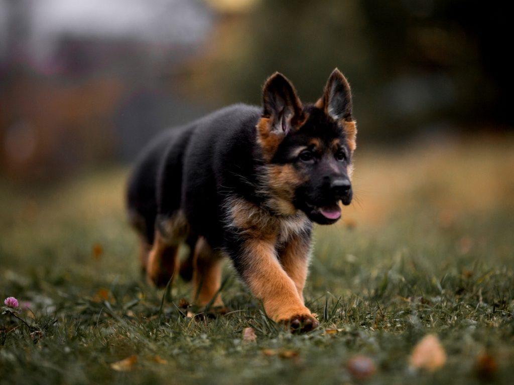 щенок немецкой овчарки 1 месяц