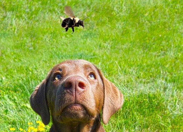 Что делать если собаку укусила оса или пчела