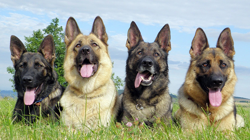 Немецкая овчарка: особенности содержания, характер и советы по выбору щенка