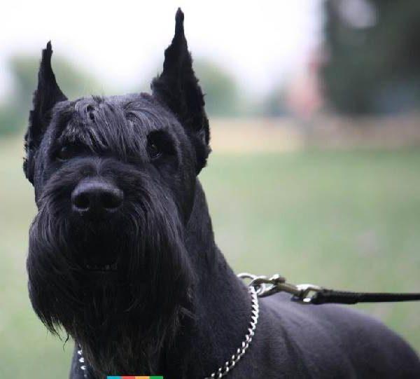Порода собак Ризеншнауцер - внешний вид, характер, уход
