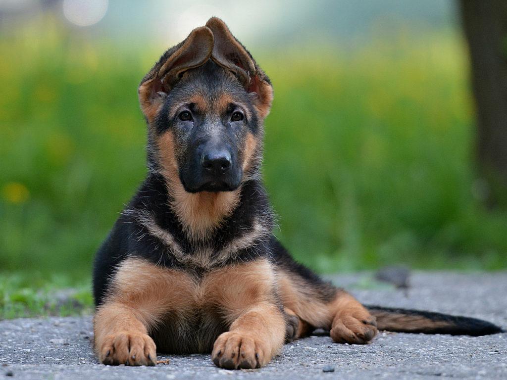 щенок немецкой овчарки фото