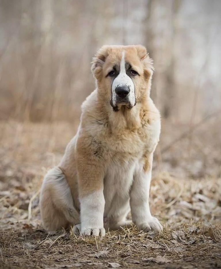 собака туркменский алабай