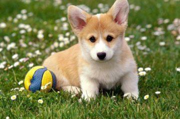 Щенок вельш корги пемброка играет с мячом цена на щенков вельш корги