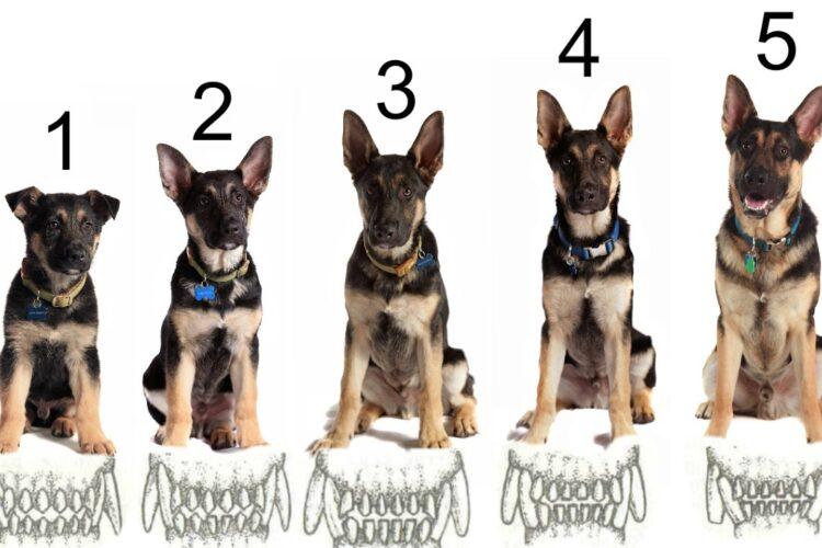 возраст собаки