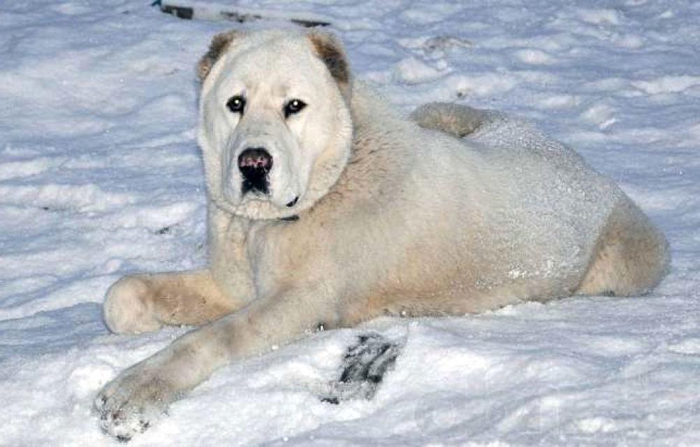 мальчиковой алабай белый фото взрослых собак можно