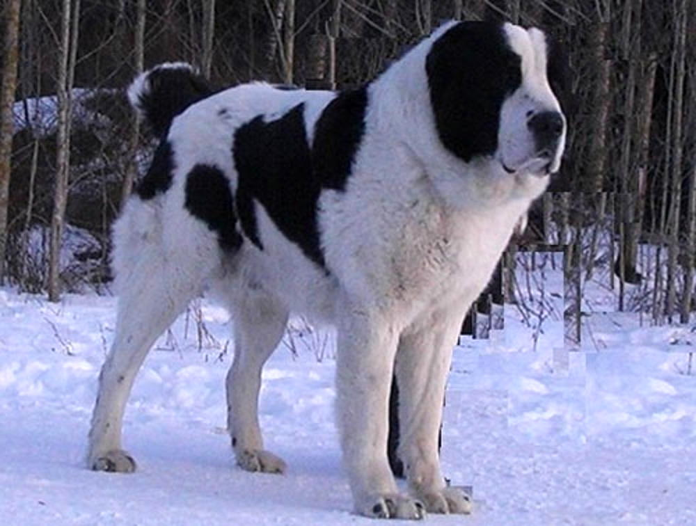 алабай фото собака взрослый
