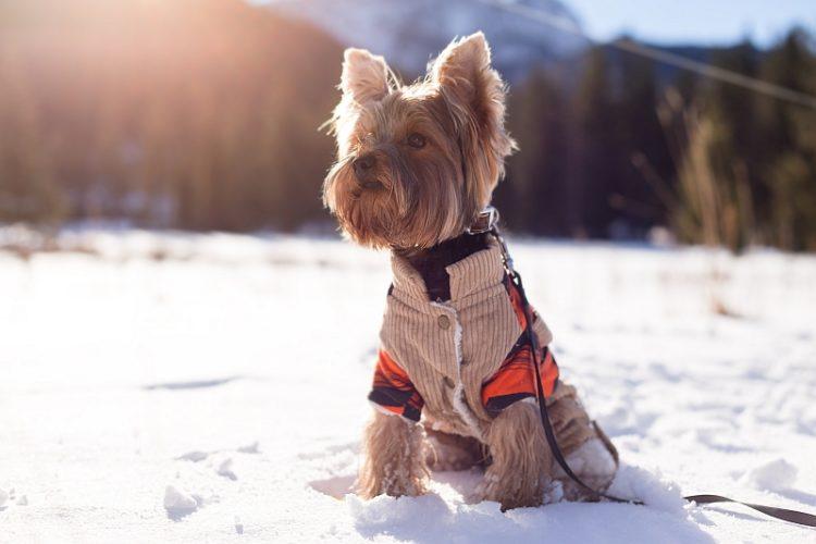 приучить собаку носить одежду